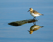Long Distance Prints - Sanderling Reflecting Print by Tony Beck