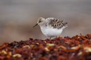 Gabor Pozsgai - Sanderling standing on...