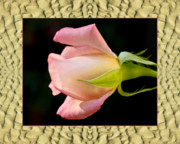Flower Photos Framed Prints - Sandflow Rose Framed Print by Bell And Todd
