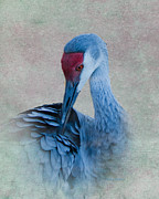 Grooming Prints - Sandhill Crane Print by Betty LaRue