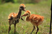 Cranes Originals - Sandhill Crane Chicks by Randy Matthews