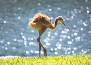 Baby Bird Photos - Sandhill Crane Daydreamer by Carol Groenen