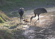 Feeding Birds Photo Prints - Sandhill Crane Family in Morning Sunshine Print by Carol Groenen