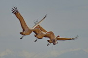 Cranes Originals - Sandhill Crane Family by Tom Cheatham