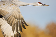 Mar1013 Framed Prints - Sandhill Crane Flying Bosque Del Apache Framed Print by Sebastian Kennerknecht