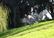 Cranes In Florida Framed Prints - Sandhill Crane Landing 3 Framed Print by Carol Groenen
