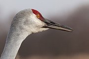 Cranes Prints - Sandhill Crane  Portrait I Print by Reflective Moments  Photography and Digital Art Images