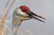 Sandhill Crane Photos - Sandhill Crane Portrait II by Reflective Moments  Photography and Digital Art Images