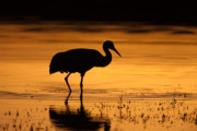 Silhouette - Sandhill Crane Sunset Silhouette II by Clarence Holmes