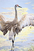 Florida Pond Framed Prints - Sandhill Crane Wings Framed Print by Carol Groenen