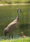 Sandhill Cranes Framed Prints - Sandhill Crane with Baby Chick Framed Print by Carol Groenen