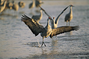 Roosting And Resting Posters - Sandhill Cranes At The Platte River Poster by Joel Sartore