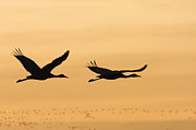 Mar1013 Framed Prints - Sandhill Cranes Flying Bosque Del Framed Print by Sebastian Kennerknecht