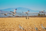 Donna Van Vlack Photos - Sandhill Cranes In Flight by Donna Van Vlack