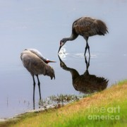 Cranes Photo Prints - Sandhill Cranes Reflection on Pond Print by Carol Groenen