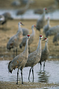 Roosting And Resting Posters - Sandhill Cranes Roost In The Platte Poster by Joel Sartore