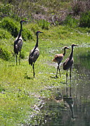 Sandhill Cranes Prints - Sandhill Family by the Pond Print by Carol Groenen