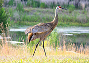 Sandhill Crane Framed Prints - Sandhill in the Sunshine Framed Print by Carol Groenen