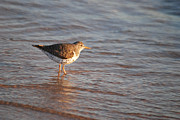 Sandpipers Prints - Sandpiper 4965 Print by Michael Peychich