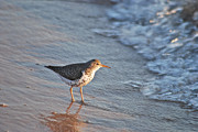 Sandpipers Prints - Sandpiper 4967 Print by Michael Peychich