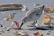 Shore Photo Originals - Sandpiper by Alan Lenk