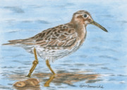 Sandpiper Painting Framed Prints - Sandpiper Framed Print by Dominic White