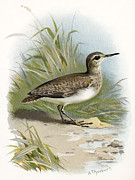 Bird Drawing Prints - Sandpiper, Historical Artwork Print by Sheila Terry