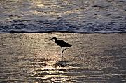 Sandpiper Prints - Sandpiper On A Golden Beach Print by Kenneth Albin