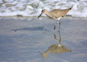 Gulf Of Mexico Photos - Sandpiper Reflection by Kristin Elmquist