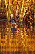 Wade Fishing Metal Prints - Sandpiper Wading For Food, Yukon Metal Print by Robert Postma