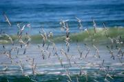 Sandpiper Digital Art Posters - Sandpipers In Flight Poster by Dianne Ahto