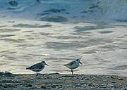 Sandpipers Prints - Sandpipers Print by Juergen Roth