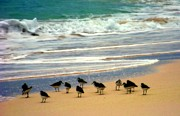 Sandpipers Prints - Sandpipers Print by Karen Wiles