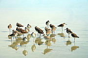 Flock Of Bird Art - Sandpipers by Photo credit John Dreyer