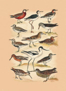 Woodcock Framed Prints - Sandpipers Snipes and others Framed Print by Eric Kempson