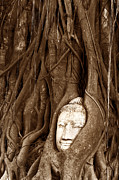 Statue Portrait Originals - Sandstone Buddha head overgrown by Banyan Tree Thailand by Tanawat Pontchour
