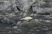 Tern Originals - Sandwhich Tern flies over stormy waves by Barbara Bowen