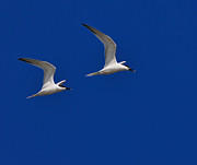 Tern Metal Prints - Sandwich Terns Metal Print by Tony Beck