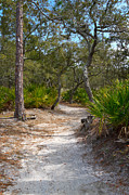 Hunting Island Posters - Sandy Path in Hunting Island South Carolina Poster by Louise Heusinkveld