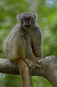 Madagascar National Park Prints - Sanfords Brown Lemur Eulemur Fulvus Print by Pete Oxford