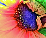 Sunflowers Digital Art - Sangria by Gwyn Newcombe