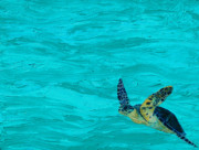 Sea Turtle Paintings - Sanibel by Kristen Ashton