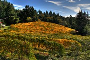 Grape Vineyard Originals - Santa Cruz Mountain Vineyard by Doug Shier
