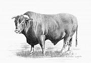 Pencil Drawing Posters - Santa Gertrudis Bull Poster by Arline Wagner