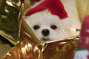 Maltese Puppy Photos - Santa Paws by Leslie Leda