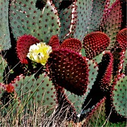 Red Cactus Flower Prints - Santa Rita Print by Marilyn Smith