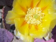 Lisa Bentley Art - Santa Rita Prickly Pear Bloom 01 by Lisa Bentley