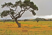 Ranch Prints - Santa Ynez Hayfield Print by Gus McCrea
