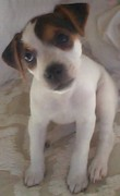 Black And White Jack Russell Terrier Puppies Photos - Sapphire Lady at Seven Weeks Old by Linda Parker