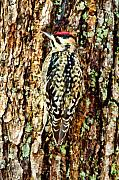 Woodpecker Digital Art Posters - Sapsucker Poster by Paul Bartoszek